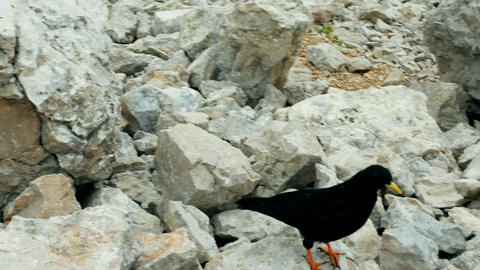 Curious Alpine chough looking for food in the high mountains, South Tyrol Footage