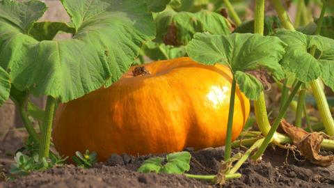 Fresh, ripe, pumpkins growing in field Archivo
