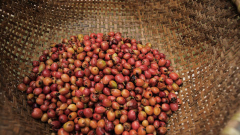 Raw Luwak coffee beans and part-digested coffee cherries Live Action
