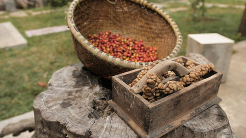 Raw Luwak coffee beans and part-digested coffee cherries 영상물
