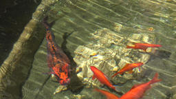 France Cote d'Azur Villefranche sur Mer gold fishes in small pond GIF