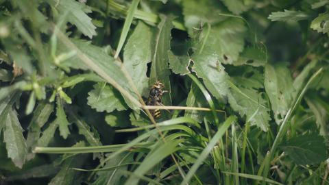 Hornet (Vespa Crabo, European Hornets) on grass Footage