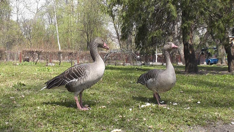 two goose Footage