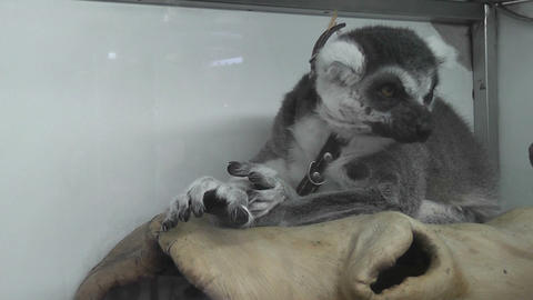 lemur Stock Video Footage