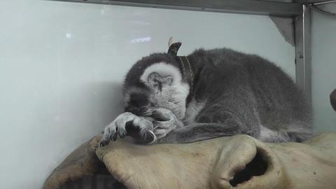 lemur Stock Video Footage