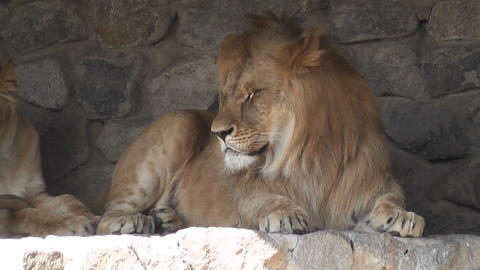lion at the zoo 02 Stock Video Footage