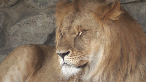 lion at the zoo 04 Stock Video Footage