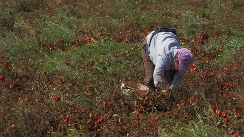 Woman collecting tomatoes from the field Footage