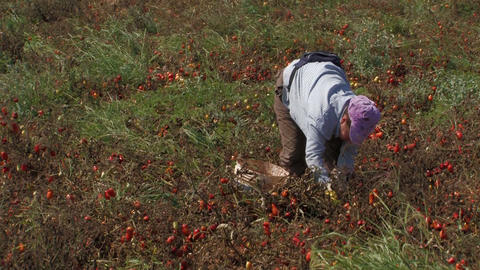 Woman collecting tomatoes from the field Stock Video Footage