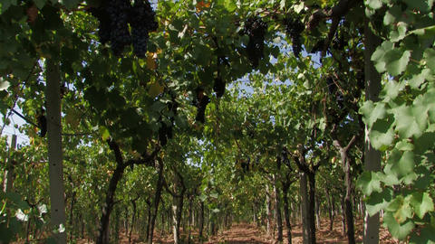 Row of grape vines Stock Video Footage