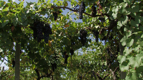 Row Of Grape Vines stock footage