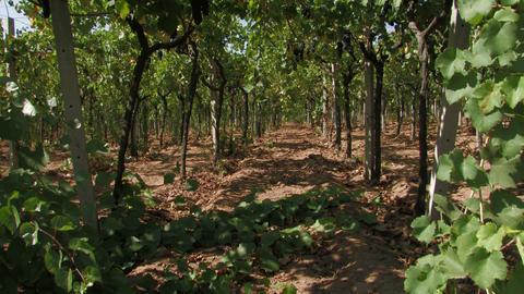 Row of grape vines Stock Video Footage