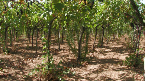Rows of grape vines in the wind Footage