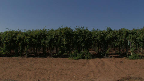 Rows of grape vines in the wind Stock Video Footage