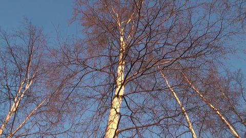 Crohn's birch Footage