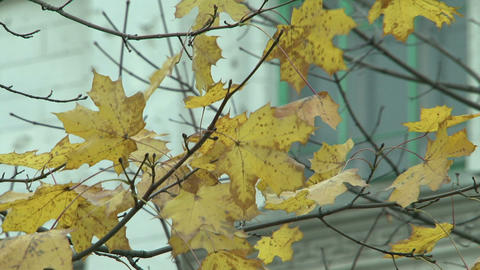 Yellow maple leaves Stock Video Footage