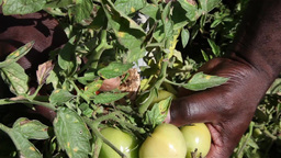 African man harvesting tomatoes Footage
