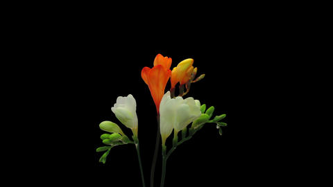 Time-lapse of opening white and orange freesia in RGB + ALPHA matte format Footage