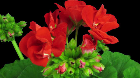 Time-lapse of opening red geranium (Pelargonia) flower in RGB + ALPHA matte form GIF