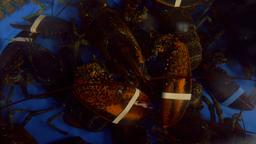 Banded Lobster in Restaurant Aquarium Overhead Footage
