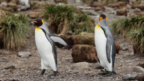 King Penguins On South Georgia Island GIF