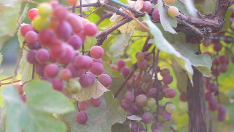 Ripe grapes on the plantation Footage