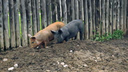 Brown and Black Pig Digging in the Dirt with their Snouts Live Action