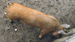 Brown Pig Searching for Digging in Crevices of a Wooden Fence Footage