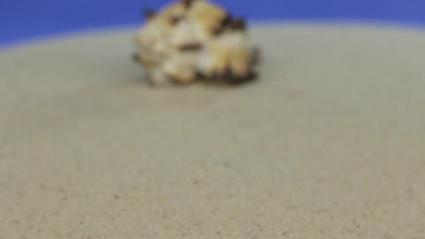 Approaching the seashell lying on the sand. Isolated Footage