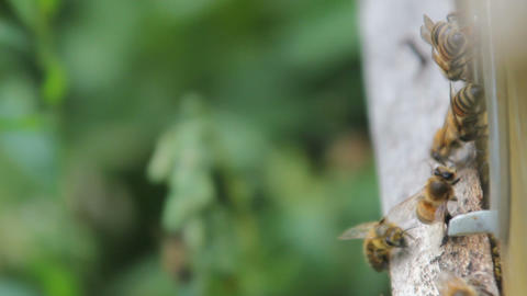 closeup of bees on honeycomb in apiary .selective focus. Bee honeycombs with ライブ動画