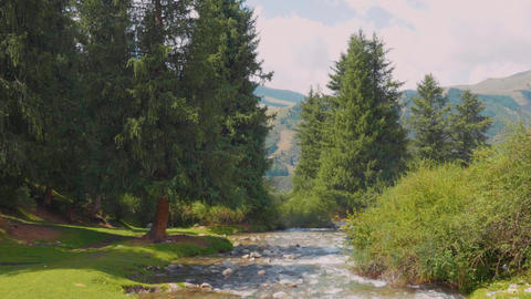 Fir trees growing on meadow near mountain river with mountains on background Footage
