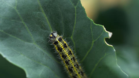Pieris brassicae larva at the cabbage leaf Live Action
