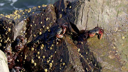 Group of crabs climbing out of the sea onto rocks and eating food. Small seafood Footage