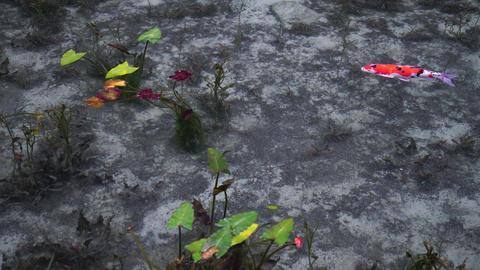 Beautiful koi pond Footage