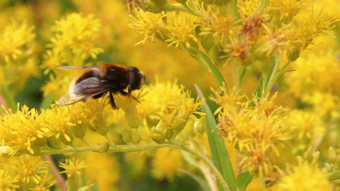 Yellow bee collecting honeydew on blooming flowers closeup. Honey bee on flowers Footage