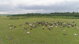 Cows graze on pasture Footage