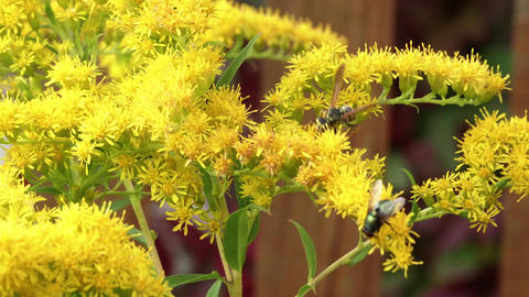 Wasp and fly pollinating yellow flowers in summer garden close up Live Action