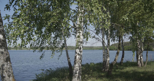 4k - approaching a group of young birches near the lake Footage
