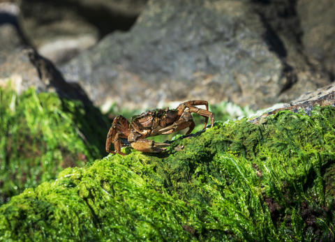 sea crab sits on a rock with green algae フォト