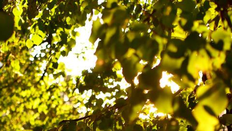 Beautiful natural green sunshine bokeh background. Blurry fresh summer foliage ライブ動画