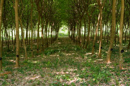 Enchanting Forest Lane Through Rubber Tree Plantation Fotografía