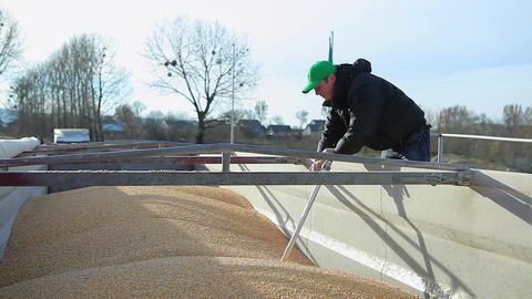 Farmer Sampling Harvested Corn Grain Live Action