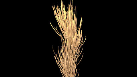 Straw, wheat, dry plant stalks growing. 3d animation Animation