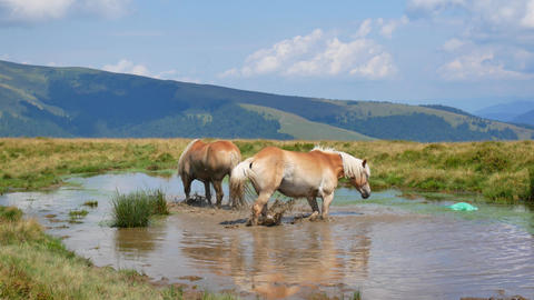 A pair of horses bathe in a mountain lake. Love concept Footage