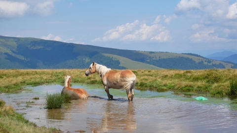 A pair of horses bathe in a mountain lake. Love concept Stock Video Footage