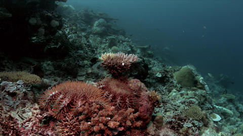 Crown-of-thorns starfish on a coral reef 4k Live Action