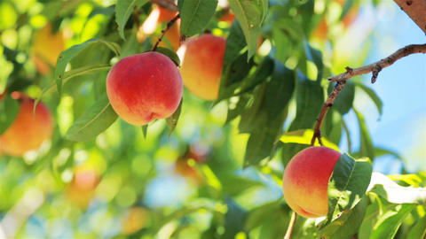 Ripe peach with blue sky in background Footage