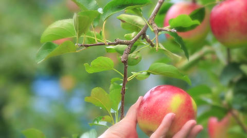 Harvesting apples in apple orchard Footage