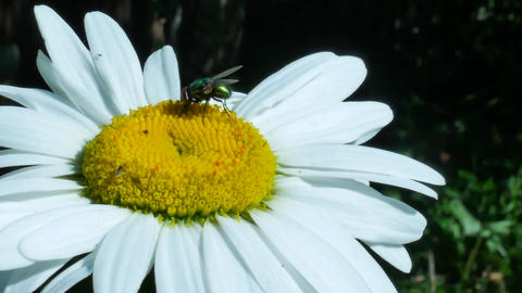 Green fly or bottle fly insect sitting on chamomile flower Footage