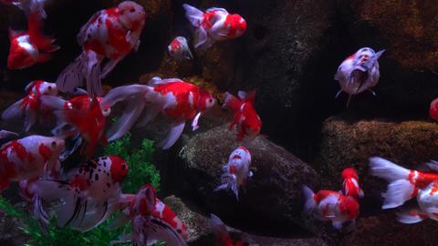 Goldfish aquarium Live Action